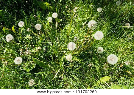 Fluffy white dandelions in grass. Delicate dandelion seeds. Wild flower in the meadow.
