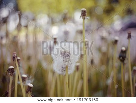 White fluffy flowers of dandelions in the field.