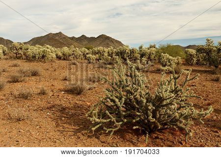 Staghorn Cactus in front of Cholla Forest  in Sonora Desert, Phoenix, Arizona