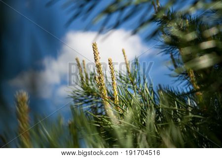 The growth of young fir cone on a branch in spring. Pine sprout in the needles of the tree. The nature of the forest in detail.
