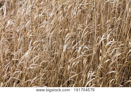 dry bulrush in winter for background use