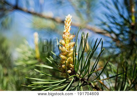 Growth of young fir cone on a branch in spring. Pine sprout in the needles of the tree. The nature of the forest in detail.