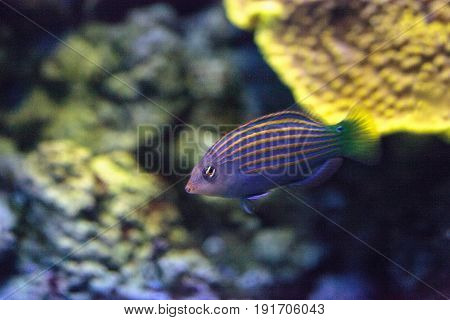 Pinstriped wrasse fish Halichoeres melanurus swims over a coral reef