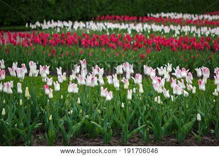 Plantations of Tulips miliarity decorative white. Flowers tulips Burgundy - luxury of the Dutch variety. Tulip Lily exquisite. Cup-shaped flower.