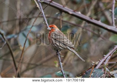 a house finch in british columbia canada