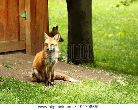 Sitting Red Fox in a Suburban Back Yark