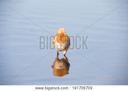 sandhill crane baby chick in Burnaby lake April 2015