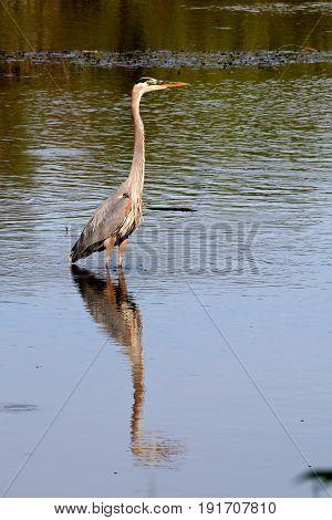 Great Blue Heron Reflecting in Pond near Minneapolis, Minnesota