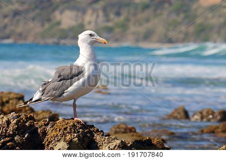 Seagull Perched on Barnacles on California Beach