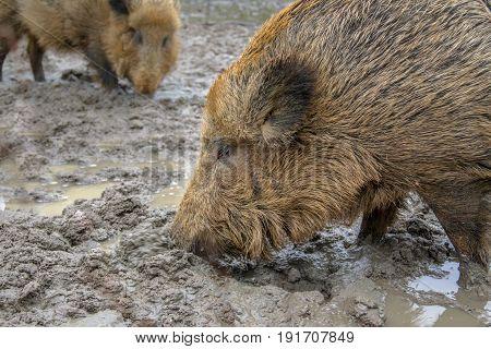 Two Feeding Wild Boar