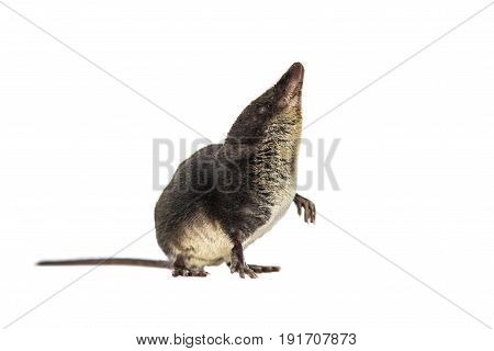 Water Shrew Looking Up On White Background