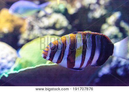 Harlequin Tuskfish Known As Choerodon Fasciatus