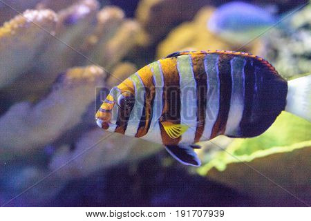 Harlequin tuskfish known as Choerodon fasciatus in a coral reef. poster