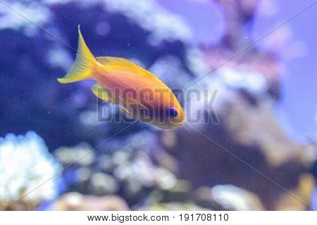Yellow Lyretail Anthias Fish Known As Pseudanthias Squamipinnis