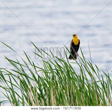 Yellow Headed Blackbird  against the water in a wetland