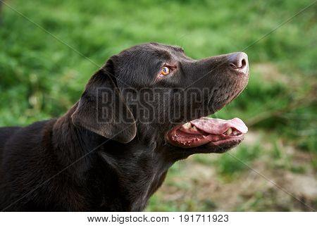A dog labrador, a black dog, a labrador stuck out his tongue, a dog walks in the park.