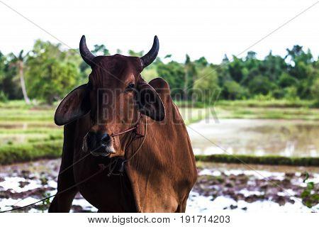 Cow farm Concept pet farm, Animal outdoors pet.