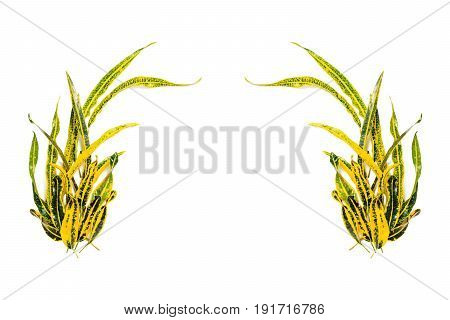 frame with Codiaeum variegatum (L.) Blume isolated on white background. flat lay overhead view