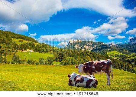 Warm autumn in the Val de Funes, Dolomites. The concept of ecological tourism. Well-fed cows graze on the green meadows of the mountain valley