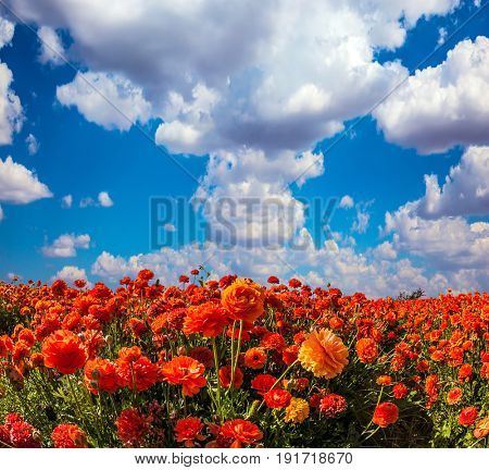 The kibbutz in the south of Israel. Clouds over field of luxury garden buttercups. Concept of rural tourism