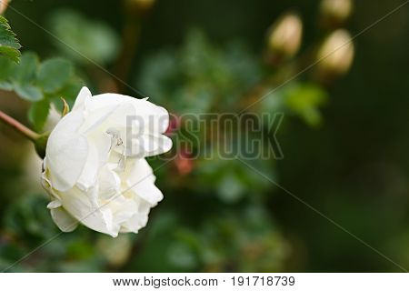 White Widow Is Disguised In The White Bud Of A Wild Rose Bush