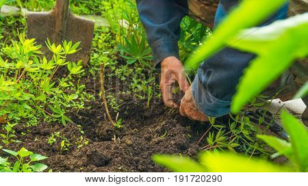 an elderly man in the ground, plant sadil hands flower transplants in the ground. the protection of ecology