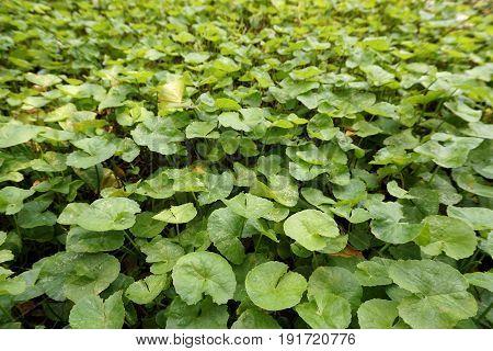 fresh green Centella asiatica plant in nature garden