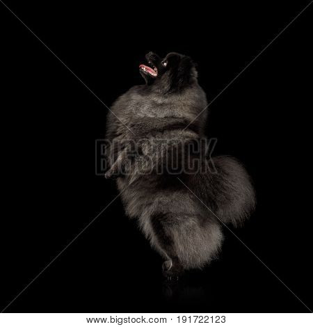 Furry Pomeranian Spitz Dog Standing on hind Legs Isolated Black Background, side view