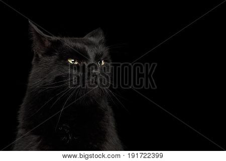 Portrait of Curious Black Cat making face on Isolated Dark Background, front view