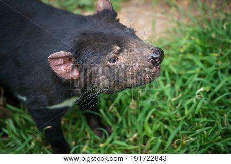 Tasmanian devil the iconic animal of Tasmania state of Australia.