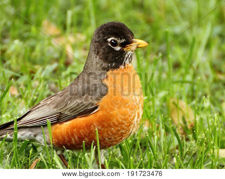Orange Breasted American Robin in Grass, Closeup