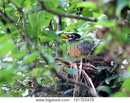 Robin Sitting on Nest in Dense Cover