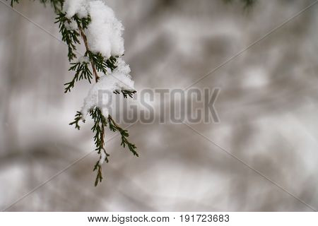 Snowy Cedar Branch during a Snow Fall in the Winter