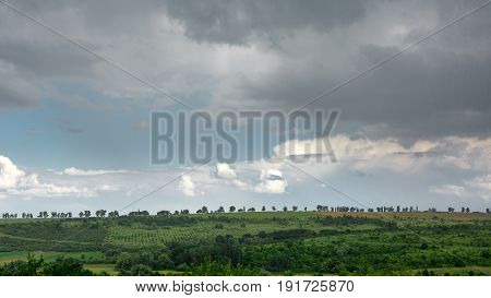 Row Of Poplar Trees With Vineyards In Foreground