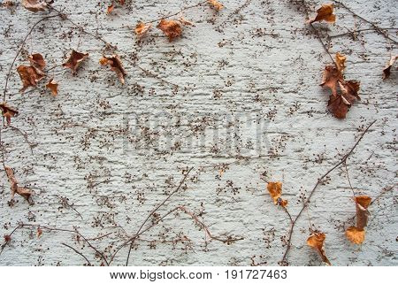 A Background With Brown Dry Grape Branches And Leaves Rising On A White Rough Painted Wall, Walldorf