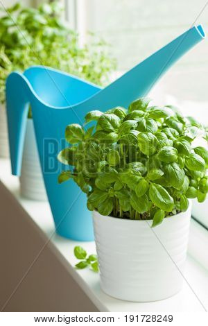 fresh basil and thyme herbs in a pot on window