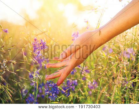 Woman hand touching wildflowers closeup. Meadow field with wild flowers, Health care concept. Summer, summertime. Rural field. Hand Skin care treatment, Alternative medicine. Environment