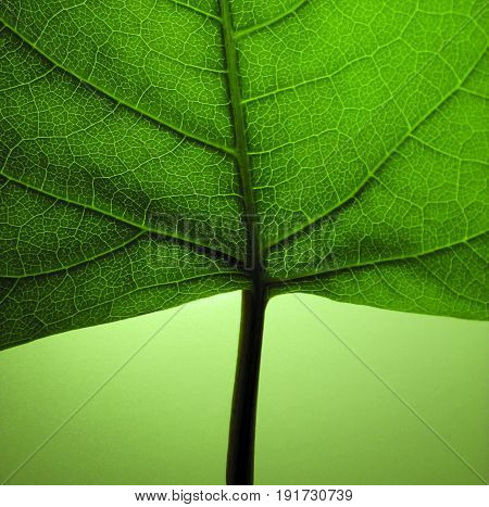 A detail photo of a green leaf