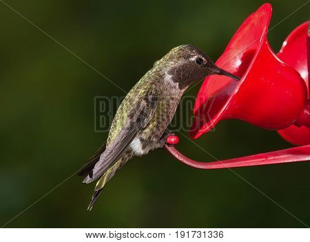 Close up of Ruby Throated Hummingbird (archilochus colubris) sitting on feeder