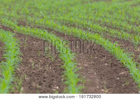 Many Young Sweet Corn Plants In Rows