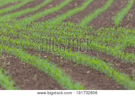Field Of Young Sweet Corn Plants In Rows