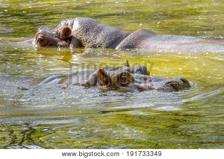 Two Large Mammal Of A Wild Animal, Hippopotamus In Water