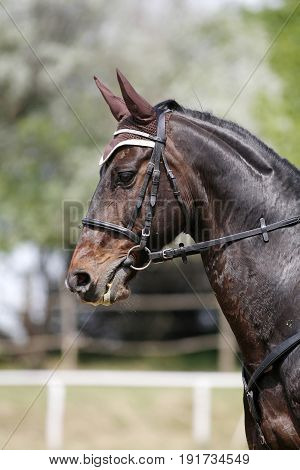 Portrait of beautiful show jumper horse in motion with her unknown rider