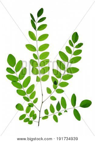 Branch with green leaf of Acacia or Black Locust isolated on white background.