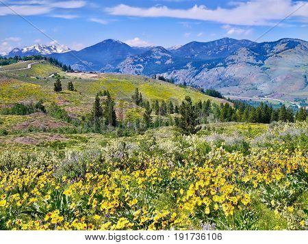 Arnica in alpine meadows. Patterson Mountain near Winthrop Washington. North Cascades National Park. USA.
