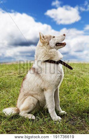 Husky Breed Dog Sitting On The Grass
