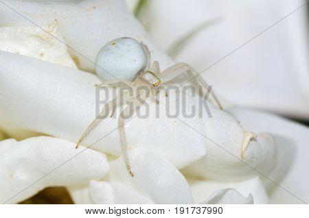 Goldenrod crab spider on white flower. Macro photo.
