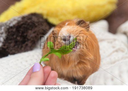 Portrait of red guinea pig eating arugula . Close up.