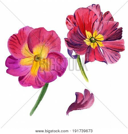 Wildflower viola flower in a watercolor style isolated. Full name of the plant: rviola tricolor. Aquarelle wild flower for background, texture, wrapper pattern, frame or border.