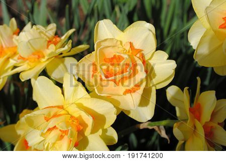 Fife yellow orange daffodils-narcis blooming in spring